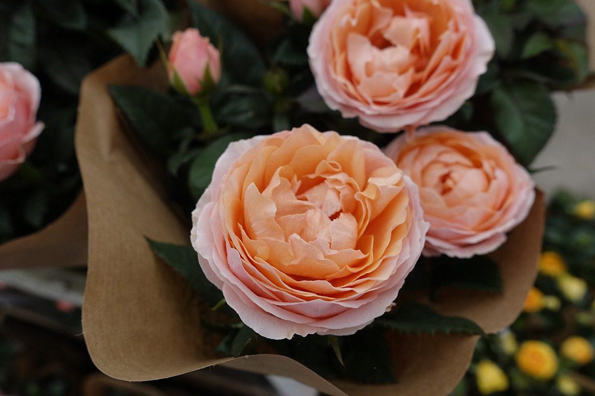 MNP / Suntory | roses | Moerheim