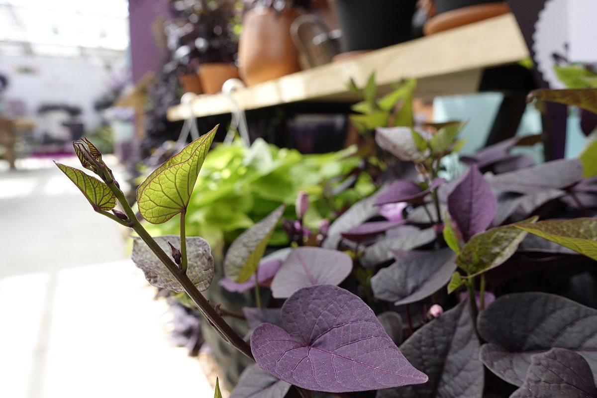 Sunpuma® | Purple | MNP / Suntory