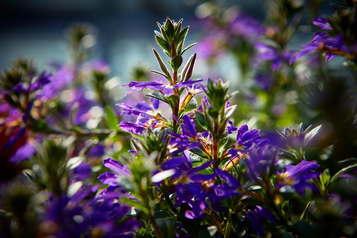 Surdiva® Deep Violet Blue | MNP / Suntory