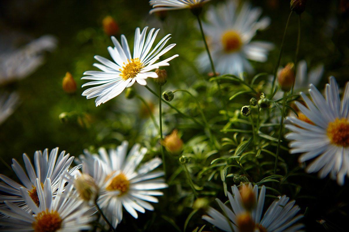 Image request | Surdaisy® Impr. White 17 | MNP / Suntory