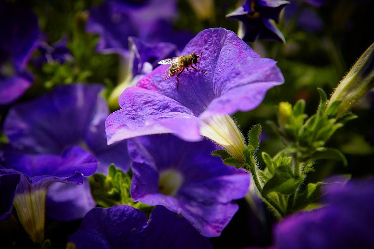 Surfinia® Trailing violet | MNP / Suntory