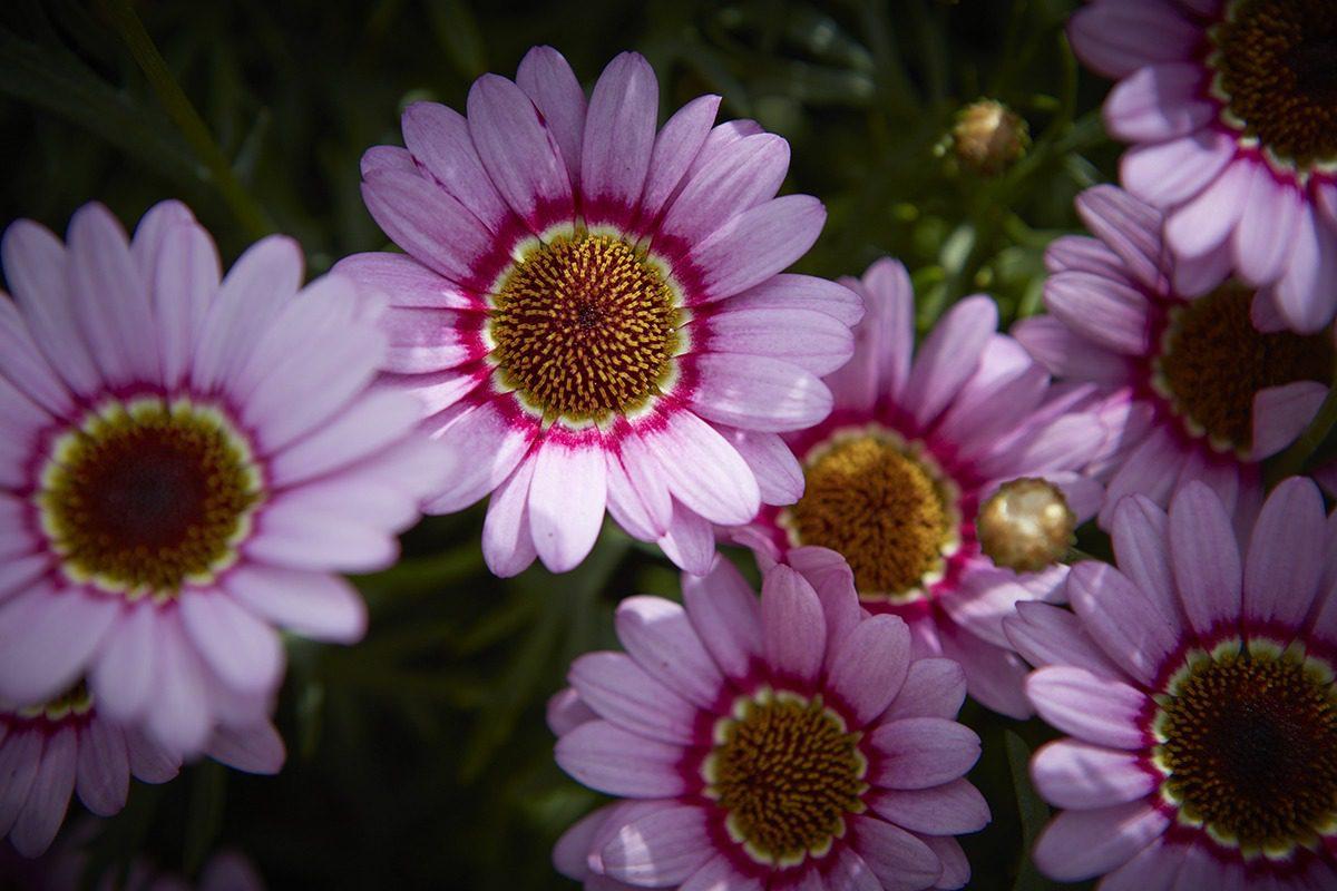 Grandaisy® Pink | MNP / Suntory