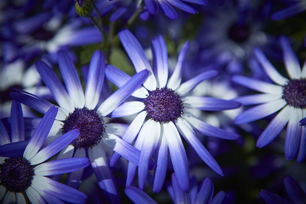Sentti® Blue White XXL | MNP / Suntory