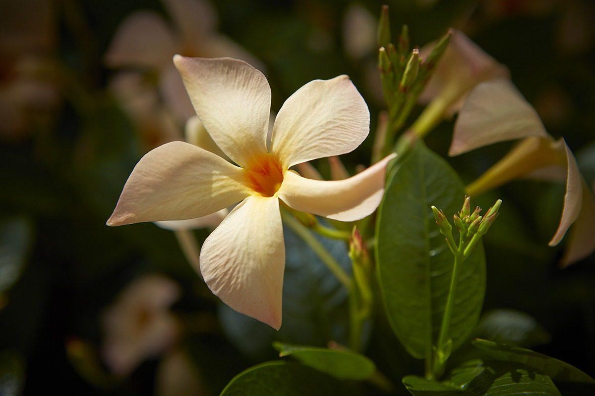 Sundaville® MiMi Yellow | MNP / Suntory