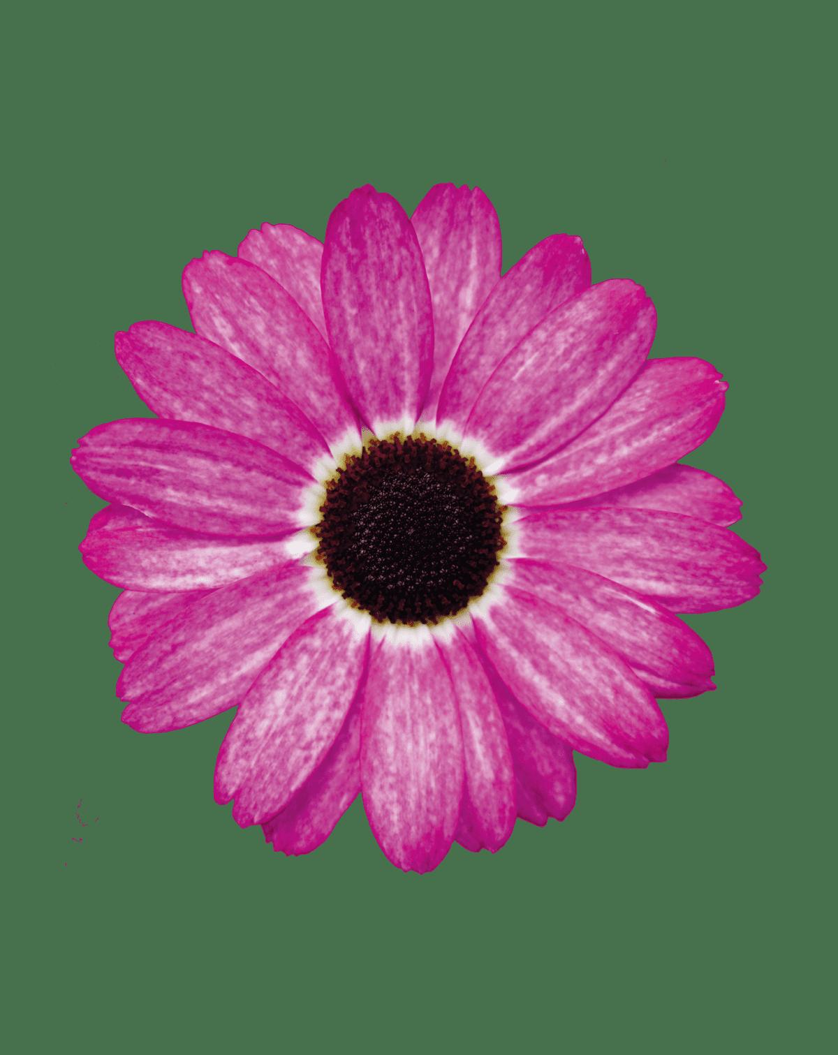 Grandaisy® Pink Tourmaline