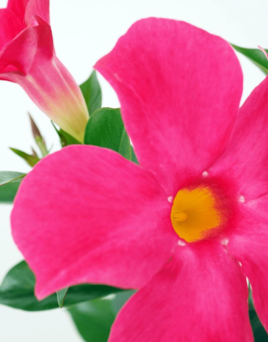 Sundaville® MiMi Pink